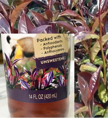 Certified PURPLE TEA (cutting) 1000 cuttings
